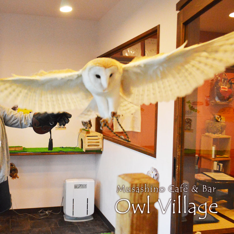 owlcafe harajuku Barn Owl will flew to eat the bait